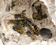 Common Wasps