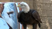 Dickerson Park Zoo Eagle