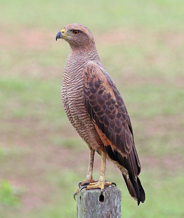 Daggett's Eagle