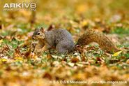 Eastern-fox-squirrel-foraging-amongst-fallen-leaves