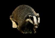 European Badger NBG