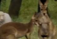 Evan Almighty Kangaroos