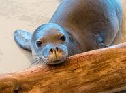 Hawaiian seal pup