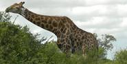 KNP Giraffe