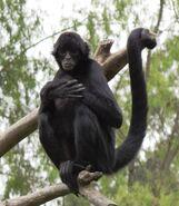 Monkey, Black-Headed Spider