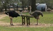 Noah's Ark Ostrichs