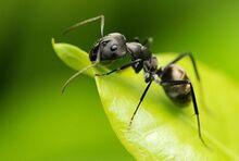 Ant (Animals).jpg