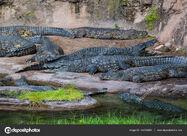 Bask of Nile Crocodiles