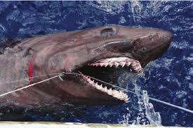 Bigeye Sandtiger Shark