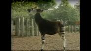 London Zoo Okapi