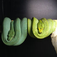 Male and female green tree pythons