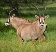 Male and female roan antelopes