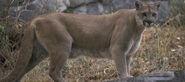 North American Cougar