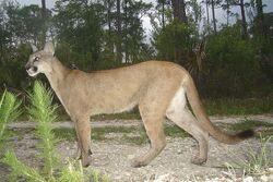 Puma Concolor.jpg