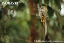 South-american-squirrel-monkey-on-branch.jpg