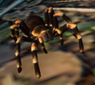 Tarantula, Mexican Red-Kneed (Planet Zoo)