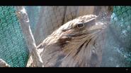 Virginia Zoo Tawny Frogmouth