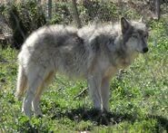 Wolf-dog hybrid