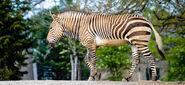 Zebra, Hartmann's Mountain