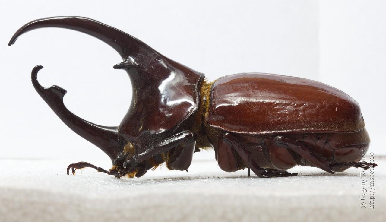 Centaurus Beetle