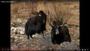 Animal Atlas Yaks