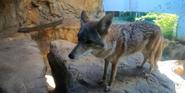 Birmingham Zoo Wolf