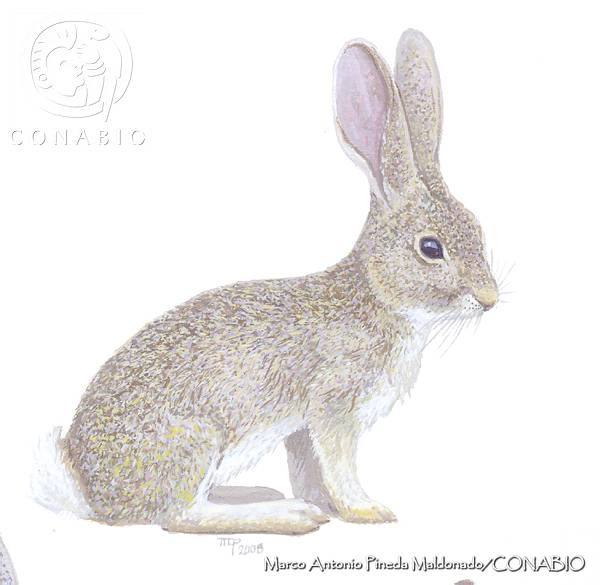 Omilteme Cottontail