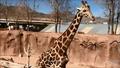 El Paso Zoo Giraffe