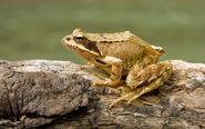 Frog, Common (V2)
