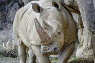 How the Elephants, Giraffes, Okapis, Hippos, Rhinos, and Buffalos Keep Cool