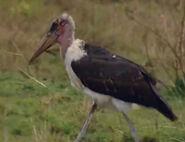 HugoSafari - Stork