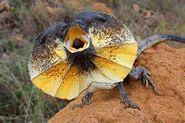 Lizard, Frilled