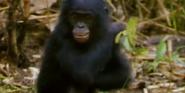 MMHM Bonobo