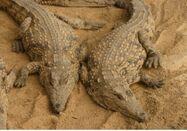 Male and Female Nile Crocodiles