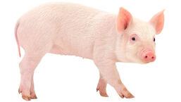 Pig Full Body.jpg