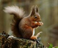 Red Squirrel (V2)