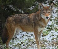 Red wolf (Canis rufus)