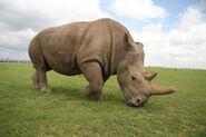 Rhinoceros, Northern White