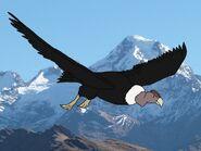 Rileys Adventures Andean Condor