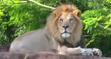 SML Lion