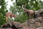 Siberian Ibex Billy and Nanny