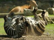 Zebra Mud Rool