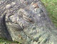 BEWAA Siamese Crocodile