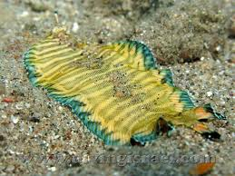 Banded Sole