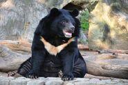 Bear, Asiatic Black