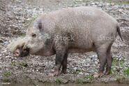 Bornean bearded pig (Sus barbatus)