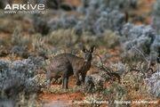 Common-wallaroo-subspecies-erubescens-in-arid-habitat.jpg