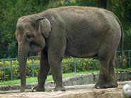 Elephant, sumatran (Elephas maximus sumatranus)