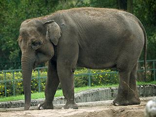 Sunda Island Elephant