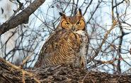 Great Horned Owl (V2)